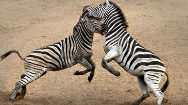 Earning Their Stripes: Male Zebras Fight For Dominance