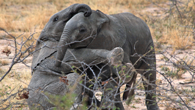 Let's Get Ready To Rumble: Cute Baby Elephants Play-Fight In Tanzania