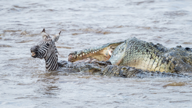 Easy Pickings: Crocodile Devours Young Migrating Zebra