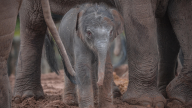Asian Elephant Herd Welcomes Rare Newborn