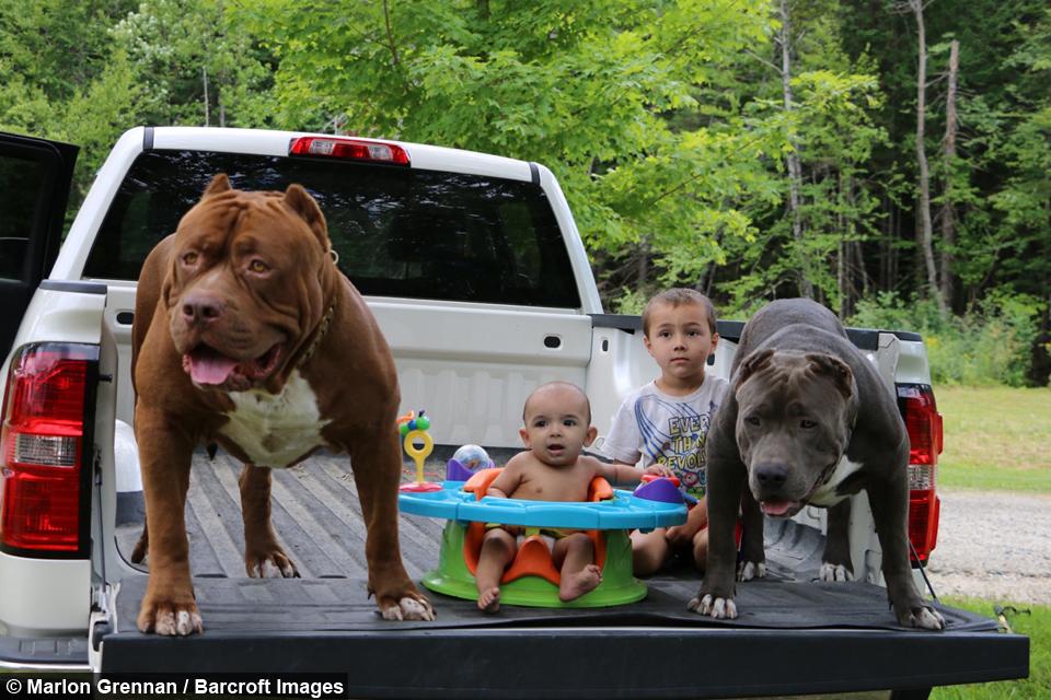 Dog Dynasty Hulks Son Kobe Is Set To Be The Next Big Pit Bull Star