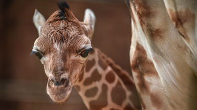 Giraffe Calf Falls Six Feet During Birth