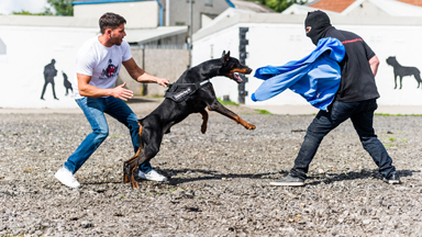 Toughest Dogs? $40,000 Protection Canines