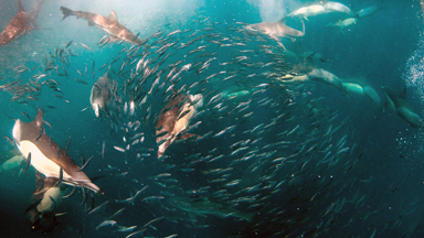 The Buffet Is Open! Eight hundred Dolphins Feast On Fish