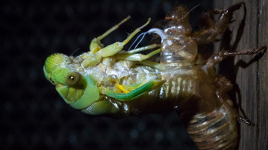 Cicada Emerges from Exoskeleton After Seven Years Underground