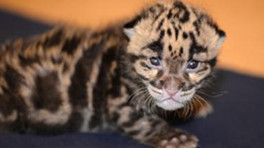 Roar of approval: Leopard Kitten Loves Feeding Time