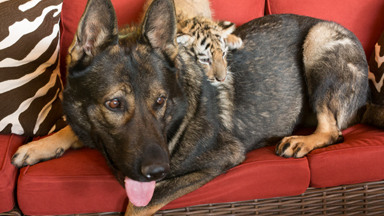 Canine carer: Dog acts as surrogate parent to baby tiger