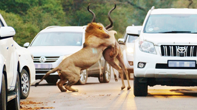 Road Kill: Lions Take Down Prey In Front Of Awestruck Motorists