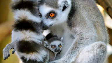 Lemur Twins Born Inside The Oldest Zoo In The World