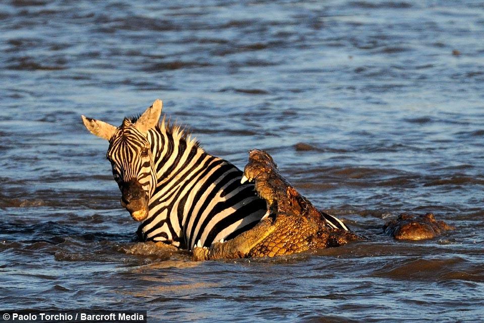 Blood Bath: Croc's Devour Prey in Perilous Migration Crossing | 960 x 640 jpeg 177kB