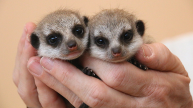 Baby Meerkats Find Their Feet