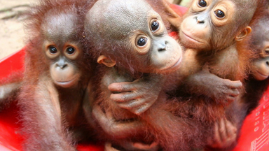 Orphaned baby orangutan finds new home at pre-school rescue centre