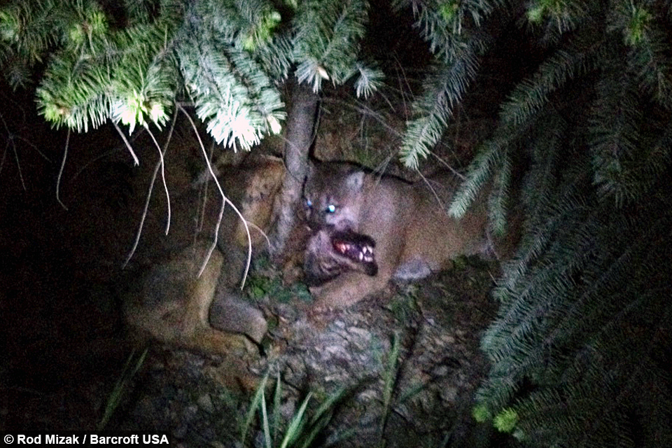 battle mountain cougar women A cross country runner at rancho san antonio preserve in los altos stumbled upon a life and death battle that left him shaken, a mountain lion.