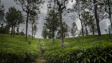 The Growing Tea Industry of Sri Lanka