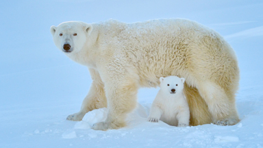 Polar Bear Cub Plays In The Snow For The First Time