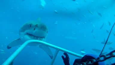 Curious shark: Nosey Great White Shows Diver Friendlier Side