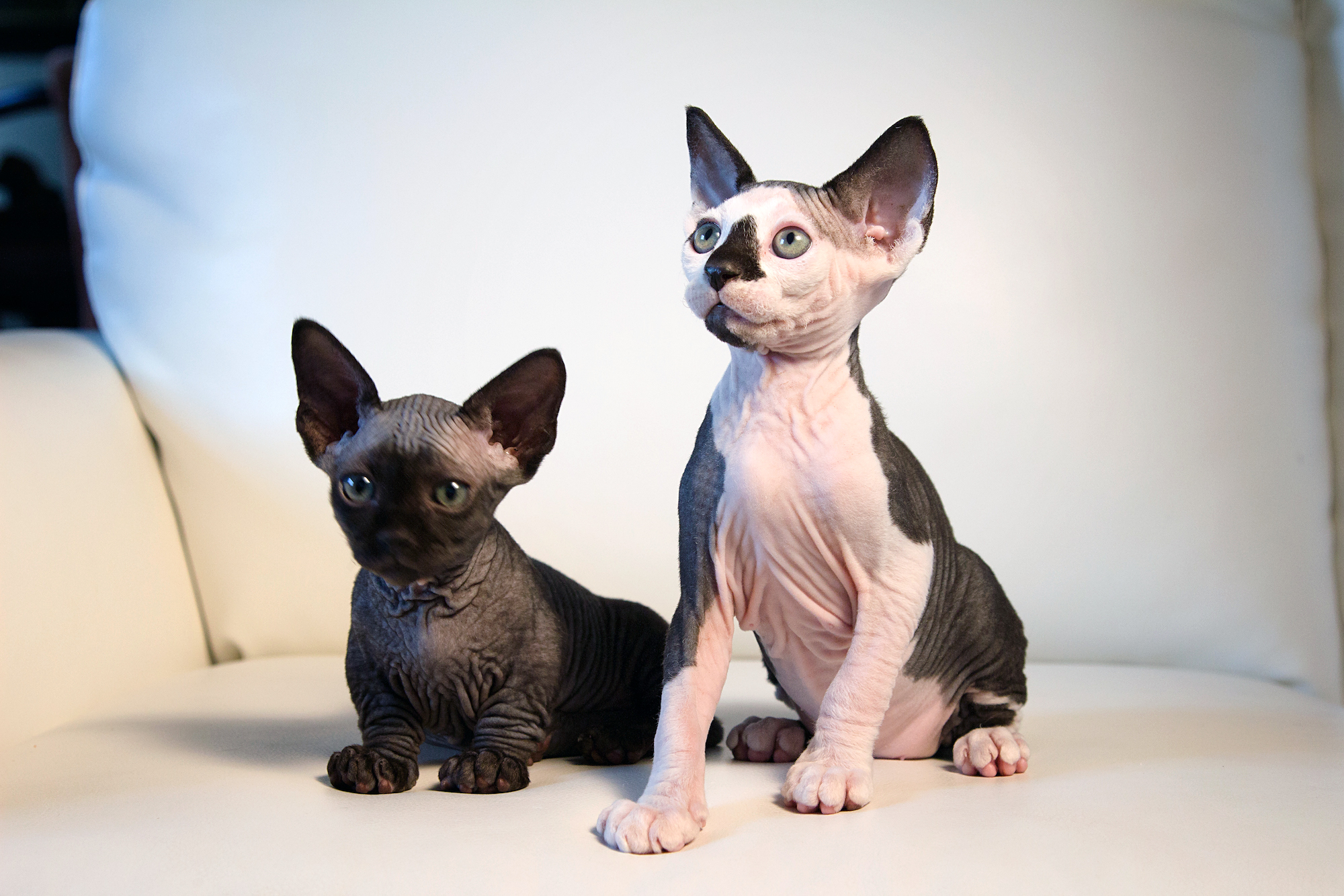 New Cat Species: Meet The Hairless SphynxieBob And BamBob