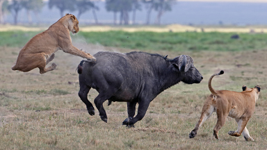 Bucking Buffalo Sends Lioness Soaring During Attack