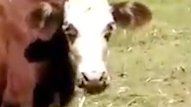 Udderly Disgusting: Hungry Cow Eats Snake