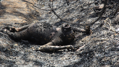 Family of orangutans killed in a land fire near protected forest in Bontang City