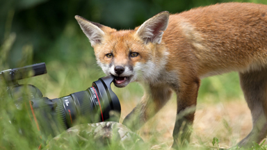 Out Foxed! Curious Cub Picks a Fight with Camera