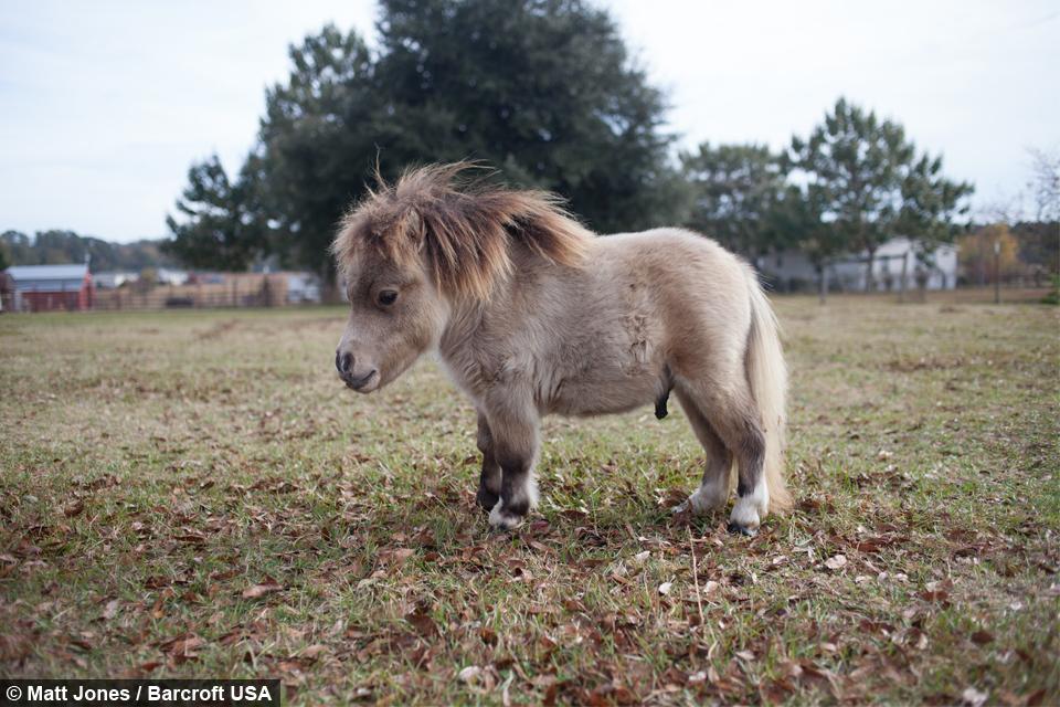 Baby dwarf horses