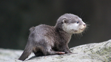 Tiny Baby Otter Ventures Outside Its Nest