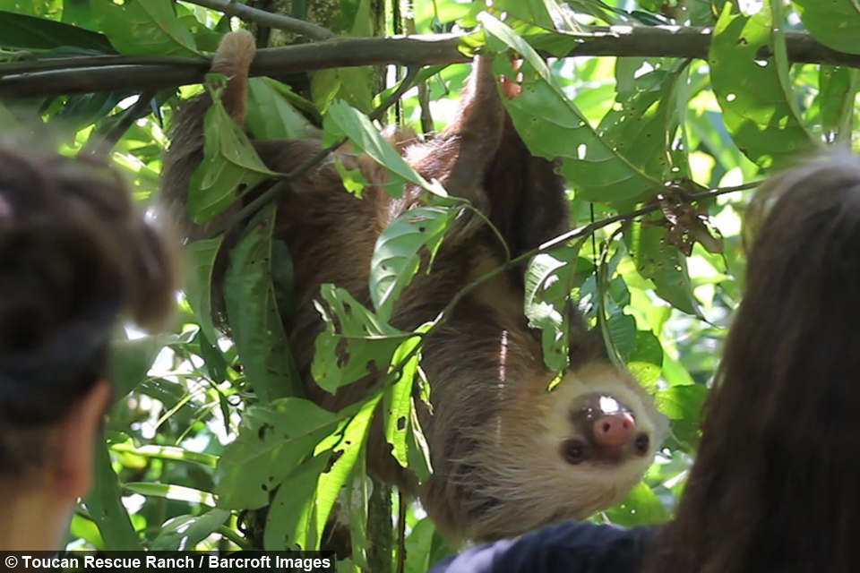 Sloth Released Into The Wild After Surviving Dog Attack