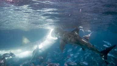 Short Shark Shock: Great White Attacks A Rival