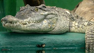 Croc Man - Ep.1
