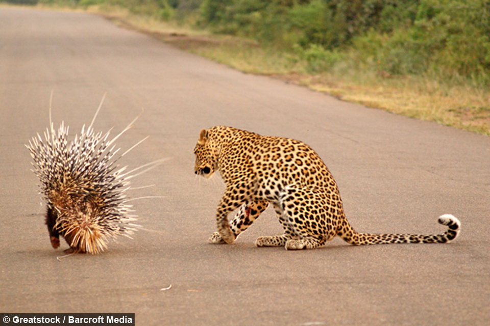 Feeling Prickly Leopard Loses Battle With Persistent