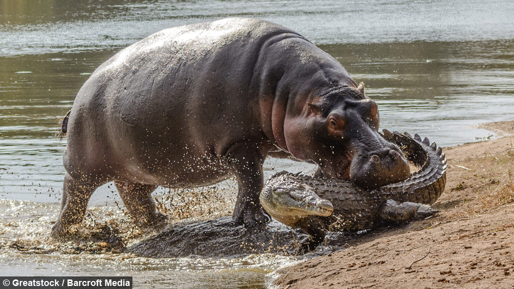S 90 3 Green Bar Real >> Protective Hippo Takes A Bite Out Of Predatory Crocodile