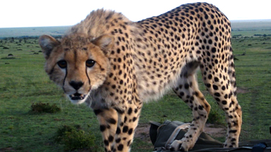 Spot of Bother: Cheetah Falls Through Car Roof Startling Tourists