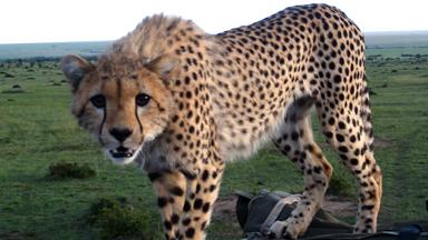 Spot of Bother: Cheetah Falls Through Car Roof Startling Tourists