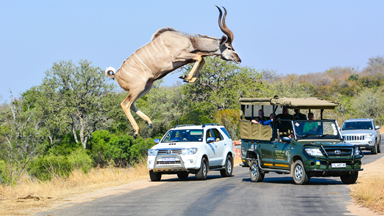 Kudu Jumps Two Meters In The Air In Kruger National Park