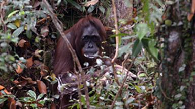 Clean Conscience? Orangutan Scrubs Herself With Stolen Soap Bar