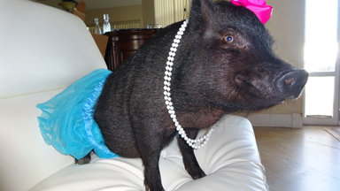 Blue The Thera-Pig Helps The Sick And Elderly
