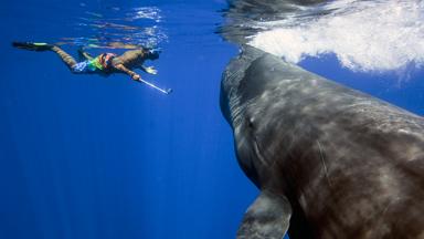 Sperm Whale Close Encounter - Tourists Swim With Gentle Giants