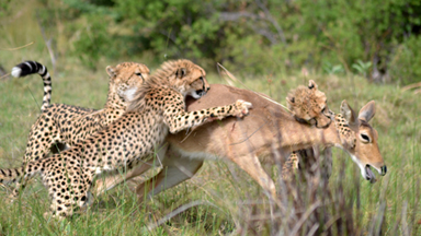 The Art Of The Kill: Cheetah Mom Teaches Her Cubs To Hunt