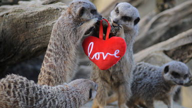 Love is in the air: Animals at Cotswolds Wildlife Park share a kiss for Valentine's Day
