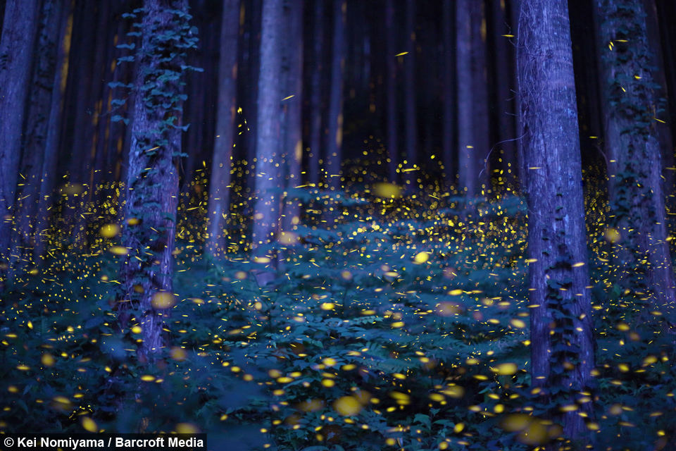 Enchanted Forest Fireflies Create Magical Spectacle In Japan
