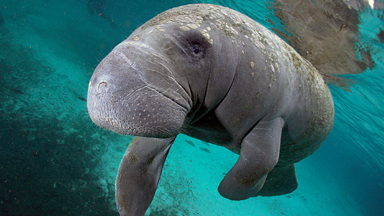 Aren't They A Picture? Unusual Looking Manatees Interact With Snorkelers