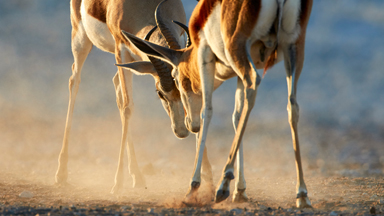 Male springbok lock horns in a battle for territory