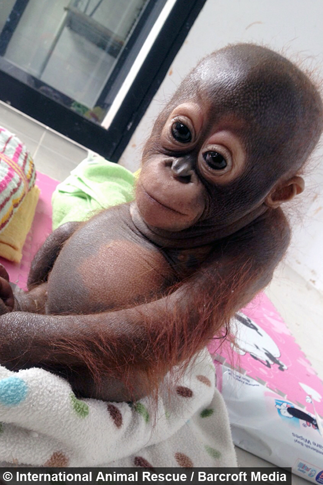 Abused Baby Orangutan Recovering [Video] - news.yahoo.com