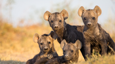 Playful spotted hyena cubs show their cute side