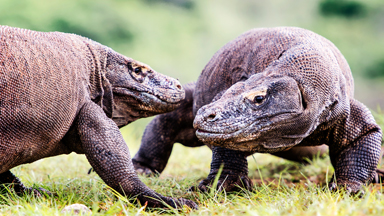 A Commotion On Komodo Island: Two Giant Lizards Fight For Dominance