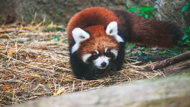 Cute Red Panda Cubs Go Exploring
