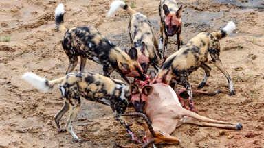 Eaten Alive: Wild Dogs Devour Impala