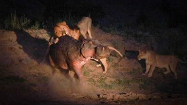 Wounded Hippo Fights Off FIVE Lions