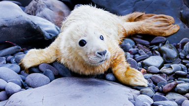 Seal Good Factor: Cute Baby Seal Spotted In Scotland